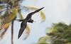 Magnificent Frigatebird and Palms (AngusPritchard) Tags: magnificent frigatebird belize ambergris caye birding island palm