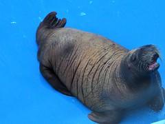 Baby walrus (thomasgorman1) Tags: walrus sealife center rehabilitation seward baby canon alaska captured captivity