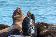 Sea Lions at Fanny Bay, BC (Melanie Leeson) Tags: canadianwildlife melanieleesonwildlifephotography mammals stellerssealion mammalsofnorthamerica britishcolumbiawildlife blingsister northamericanwildlife eumetopiasjubatus