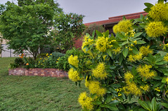Autumn flowering - Golden Penda (Xanthostemon chrysanthus) (Tatters ✾) Tags: australia qld xanthostemonchrysanthus xanthostemon home yellowflowers flowers qrfp streettree notes myrtaceae arfrp arfflowers yellowarfflowers uplandarf lowlandarf arfrheophyte tropicalarf openforest goldenpenda cyrfp