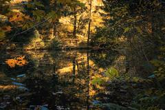 Goldener Waldsee (Gruenewiese86) Tags: canon harz herbst wald wälder see wasser spiegelung nadelwald nadelbäume harzer oderteich natur landschaft baum bäume drausen wandern wanderung retro vintage grün sommer reflexion ufer autumn waldlandschaft waldlandschaften waldboden