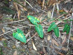 Marsdenia lloydii, Kerewong State Forest (Poytr) Tags: kerewongstateforest lorne nsw arfp nswrfp qrfp marsdenia apocynaceae marginalarf arfcp vine climbingplant corkymarsdenia marsdenialloydii