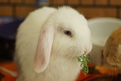 Rabbit Fest 2017 (Tjflex2) Tags: rabbitfest2017 vancouverbcchristinesbabyrabbits foradoption baby rabbit bunny bunnies conejo lapin lagomorph vrra cute