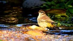 Warbler in the bog  DSC_7645 (blthornburgh) Tags: thornburgh tampa florida bird songbird palmwarbler warbler bathtime bog sunshinestate feathers animal migratory backyard nature outdoors