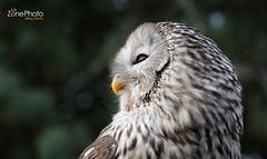 Chouette (LaZonePhoto.Fr - Fabien Marty Photographie) Tags: chouette oiseau animal lazonephoto fabien marty animalier