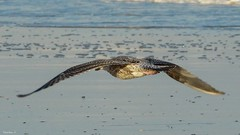 Bird - 4020 (YᗩSᗰIᘉᗴ HᗴᘉS +9 500 000 thx❀) Tags: 7dwf bird fly mer merdunord water oiseau nature blankenberge belgium hensyasmine faune fauna