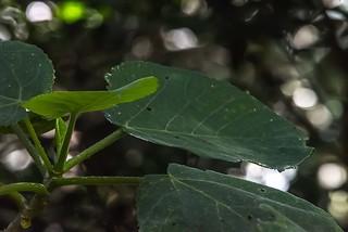 Gympie-Gympie Plant