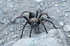 Tarantula! (_quintin_) Tags: spider tarantula pinnacles