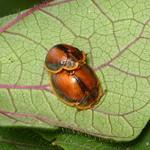 Tortoise beetles mating, Chelymorpha peruana, Cassidinae thumbnail