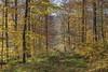 *Herbst im Eifelwald* (albert.wirtz) Tags: tree forest autumn herbst fall eifelmosel moseleifel südeifel eifel eifelsteig albertwirtz dreis bergweiler bernkastelwittlich laubwald beechforest buchenwald turningleaves foliage laubfärbung deutschland germany rheinlandpfalz rhinelandpalatinate natur nature natura landscape landschaft paesaggi paysage gelb yellow orange green grün waldweg gegenlicht backlight wood werthelstein deciduousforest deciduouswood enchantedforest landscapephotography landschaftsfotografie