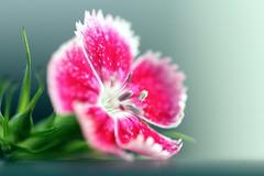 7DWF...Macro/Close Up (Sue Armsby) Tags: 7dwf flowers flora fabulousflowers fleur fragrant garden green sweetwilliam red macro closeup