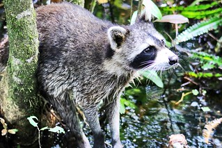 Northern Raccoon hunting in the swamps