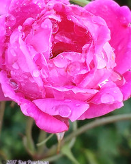 #rose #pinkrose #ptk_flowers #flowerstarz #rsa_nature_flowers #bns_macro #macro_captures #rsa_macro_ #macrolicious #thinkpink #pinkmonday #floral_perfection #droplet_perfection #divine_drops #icu_nature_perfect_day #flowerstalking #floral_secrets #florals (Scorpiol13) Tags: pink flower rose petals droplets waterdroplets wet raindrops delicate fragility bloom blossom beauty pattern texture layers macro