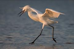 Power Glide (gseloff) Tags: whitemorphreddishegret bird feeding surf wildlife nature water bolivarflats galvestoncounty texas gseloff