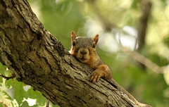 Squirrel, Cantigny Park. 49 (EOS) (Mega-Magpie) Tags: canon eos 60d nature wildlife cute tree branch squirrel cantigny park wheaton dupage il illinois usa america green