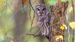 Barred Owls of New Jersey | 2017 -15 [EXPLORED]