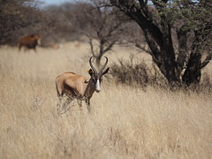 P9270279 Copper Springbok (Joanna P Dale) Tags: marricksafari olympus omdem1 35mmmacro 35mmzuiko