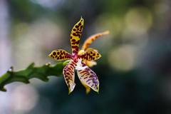 Orchid (Fajar Pangestu) Tags: sony sonya7 a7 macro closeup orchid beautiful flower nature explore bokeh bokehlicious tamron tamron9028 tamronadaptall plant nationalgeographic ngc