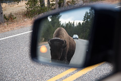 Objects in mirror are closer than they appear (John Nefastis) Tags: bison buffalo american yellowstone national park nationalpark wyoming montana madison river brown road horns wildlife autumn usa nikon tamron