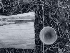 Fungi time (Landanna) Tags: fungitime fungi paddestoelen svamp nature natuur natur autumn fall fallingintoautumn herfst herfstkleuren efterår autumnlight white