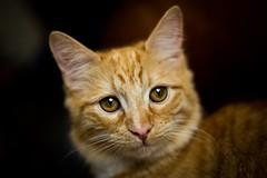 Posy Mumble (jonathan.scaife81) Tags: cat ginger portrait pet lightroom dundee canon 6d 50mm f18