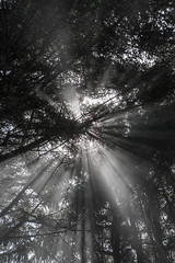 Hwy 101 CA-OR July 2018-27 (ntisocl) Tags: 2017 canon1dmarkiii canonef2470mmf28lusm hwy101 oregon oregoncoasthwy oregoncoast pacificnorthwest roadtrip silhouette trees