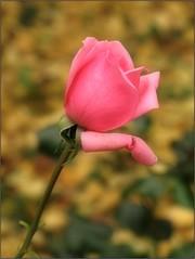 (Tölgyesi Kata) Tags: nemzetibotanikuskert vácrátótibotanikuskert botanikuskert botanicalgarden withcanonpowershota620 vácrátót ősz rosen rosa rose rózsa pinkflower fleur virág autumn herbst