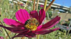 Park within a park (TJ Gehling) Tags: insect hymenoptera bee apidae honeybee apis apismellifera plant flower asterales asteraceae cosmos communitygarden centennialpark fairmontpark elcerrito