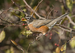 American Robin_Crabapple (Thomas Muir) Tags: turdusmigratorius woodcounty ohio perrysburg nikon 200400mm fall tommuir feeding female outdoor songbird d800 animal americanrobin