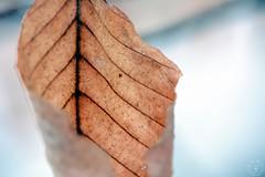 Veins (LauraJSwindle) Tags: 85mm nikond7100 leaflifecycle newyork longisland li plants foliage macrophotography botanical millpond plant veins wantagh ny usa