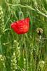 P1030886 (Guesscl) Tags: coquelicots nature normandie végétation verdure champs pré