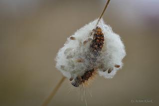 Larven einer Brackwespe sind aus der Raupe einer Goldhaar-Rindeneule herausgekommen und spinnen sich zur Verpuppung ein Kokon