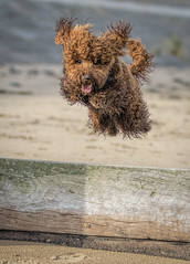 Freedem (simon.mccabe.5) Tags: motion speed beach jump fun ginger dog cockapoo happy freedem puppy arla