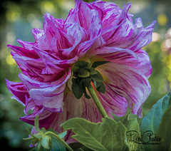 BayardCuttingArboretum_Sep132017_0040 (Roni Chastain Photography) Tags: flowers floral bayardcuttingarboretum dalia colors pink beautiful homedecor
