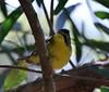 Kentucky Warbler (tombenson76) Tags: pointloma kentuckywarbler geothlypisformosa