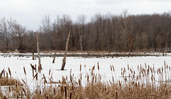 Migration Layover (famasonjr) Tags: ducks geese candian wildlife nature landscape lake wetland panarama canoneos7d cattails winter ice trees canonef28135mmf3556isusm goose duck snow cattail