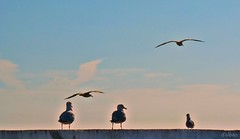 Hora de retirarse (Franco D´Albao) Tags: francodalbao dalbao lumix gaviotas seagulls ave bird animal vuelo flight cielo sky 5 nubes clouds
