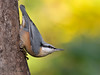 Nuthatch (laagwater) Tags: nuthatch boomklever sittaeurpaea nikond300 nikonafs500mmf4 ermelo netherlands
