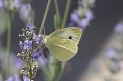 Jaune citron (Martine Moulin) Tags: papillon citron lavande
