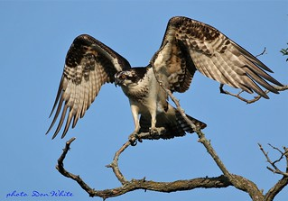 osprey spread