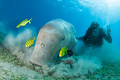 Dive guide Michael with the dugong (© 2017 Bernd Neeser)