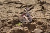 Vanessa virginiensis (Drury, 1773) (Jesús Tizón Taracido) Tags: lepidoptera papilionoidea nymphalidae nymphalinae nymphalini vanessavirginiensis