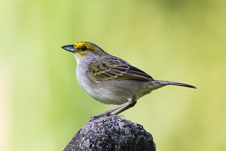 Yellow-browed Sparrow (Ammodramus aurifrons)