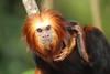 Undivided attention (charliejb) Tags: goldenheadedliontamarin tamarin mammal primate 2017 bristolzoo zoo fur furry furred clifton golden