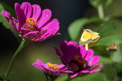 Orange Sulphur Butterfly (sethjschubert) Tags: wildlife orangesulphur butterfly nature flower zinnia bloom blossom insect moore ok