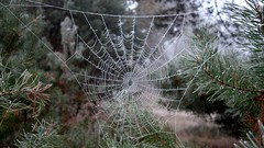 One Year Ago... (Daphne-8) Tags: frost cobweb spider web spinnennetz gefroren cold kalt nature