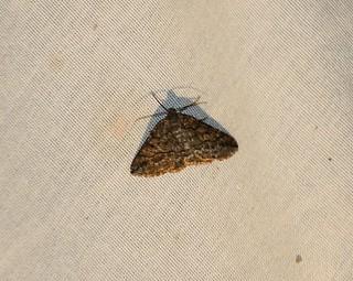 6706 Pterospoda nigrescens, Moth