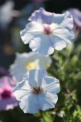 Loosing Stripes (haberlea) Tags: garden petuniaeasywavesilver flowers flower plant white pink petunia nature hybrid mygarden petals light sun sunshine