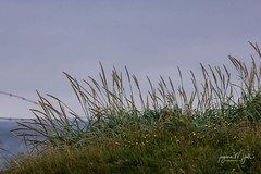 IMG_9148-2 (Islandsmjoll.is) Tags: 2017 brúnastaðir iceland island blóm flower foss fossan fugl fuglar geitur goats hestar horse horses hringferð hringveguríslands hvönn islandsmjoll lake lighthouse rauðahúsið rollur steinar svanir vitar wwwicelandicmysteryis wwwislandmjollis álftir ær