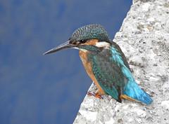 Guarda-rios (Alcedo atthis) (Marina CRibeiro) Tags: portugal barcarenaguardarios alcedoatthis ave bird